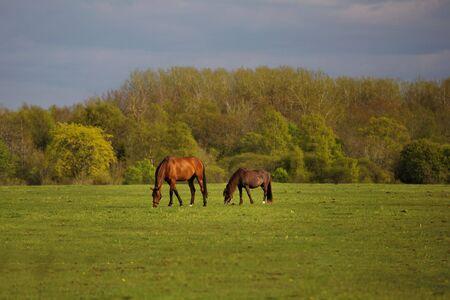 farm horses graze in a green pasture