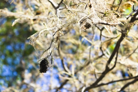 varmint: The tree struck with an ermine moth Stock Photo