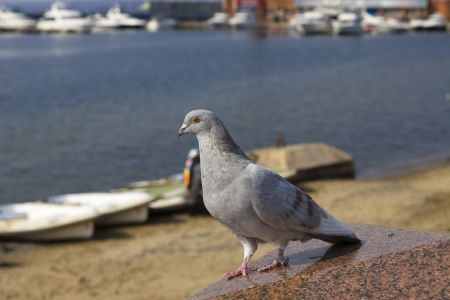 friendless: Lonely pigeon against the sea in the sunny day