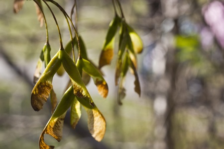 Maple seeds in beams of the autumn sun Stock Photo - 15983977