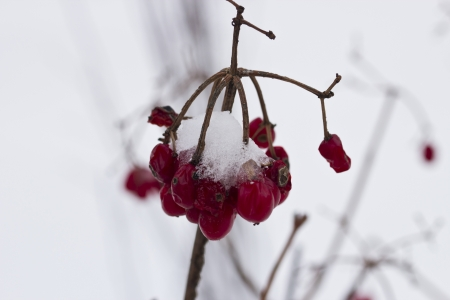 The berries of a guelder-rose covered with fresh snow photo