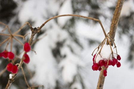 guelderrose: The berries of a guelder-rose covered with fresh snow