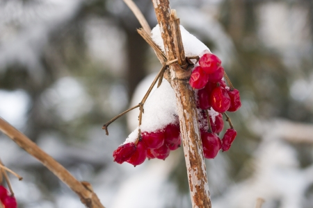 bunchy: The berries of a guelder-rose covered with fresh snow