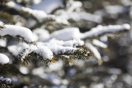 Fir-tree in snow in the bright winter afternoon photo
