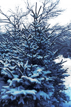 The fir-tree after snowfall is covered with snow photo