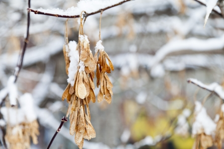 aceraceae: The maple seeds, not in time to fall, are covered with snow Stock Photo
