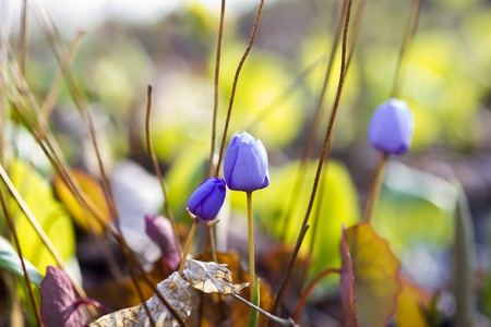 The first forest flowers appeared in the spring on a forest glade photo