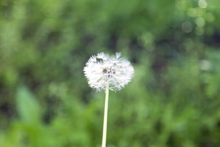 flaw: The dandelion in beams of the morning sun waits for a flaw Stock Photo