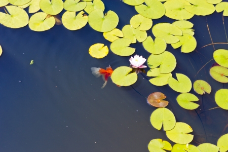 Beautiful fishes float in a pond among water-lilies Standard-Bild
