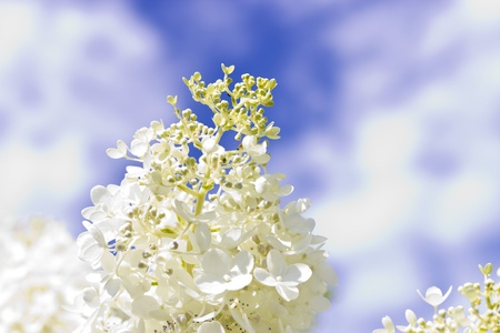 White flowers against the bright blue sky in sun beams photo