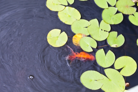Beautiful fishes float in a pond among water-lilies photo
