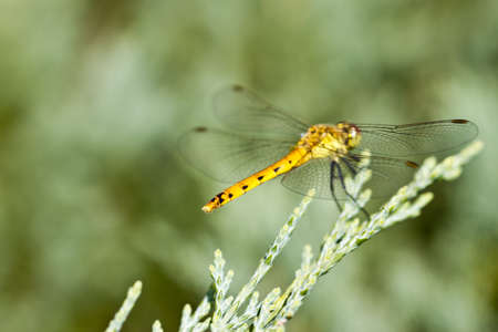 crocothemis: The dragonfly sits on a green branch in beams of a bright sun Stock Photo