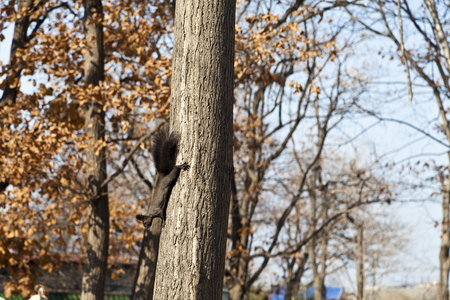 The forest squirrel skips on trees in search of nuts photo