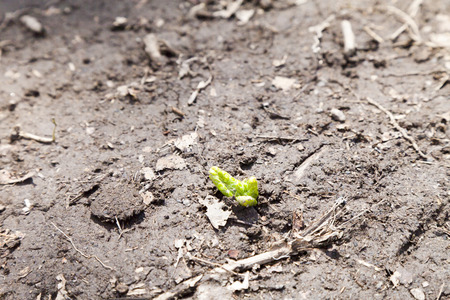 The green sprout makes the way in the early spring to the sun photo