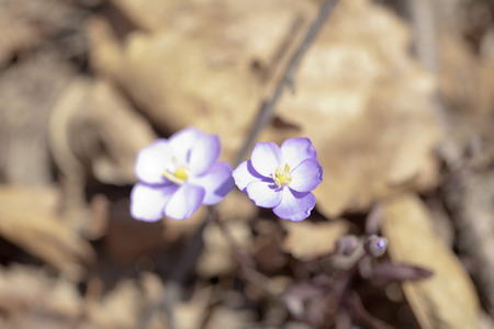 The first spring flowers in beams of the bright spring sun photo