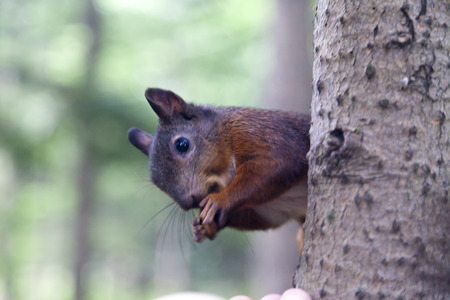 Little squirrel eating nuts in a dense forest photo