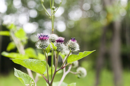 Thistle flowers in a forest glade summer day photo