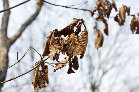 The dry leaves which remained on a tree are going to fly on the soil photo