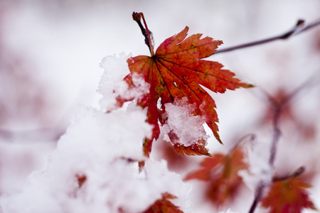 The last leaves are powdered with the first autumn snow photo