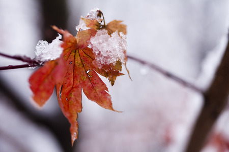 The last leaves are powdered with the first autumn snow