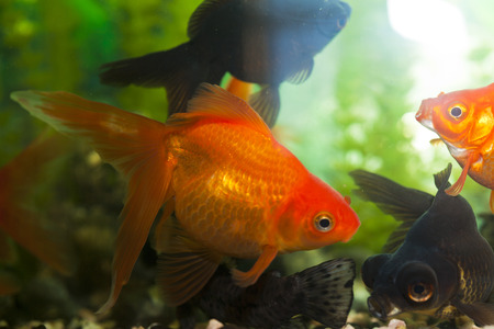 tetra fish: Fishes in an aquarium in search of a forage in fight for a survival