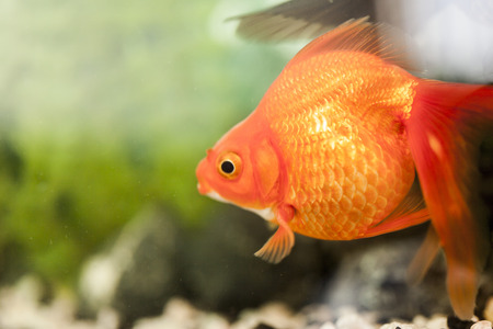 freshwater clown fish: Small fishes in an aquarium float in search of a forage