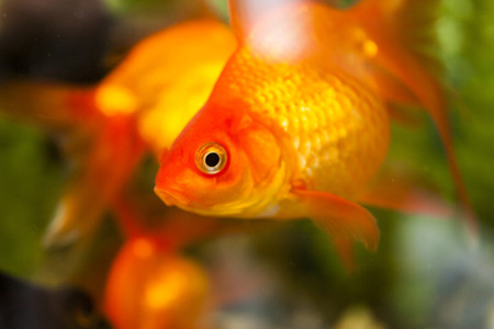 Small fishes in an aquarium float in search of a forage photo