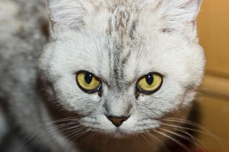 gray cat: The big gray cat Stock Photo