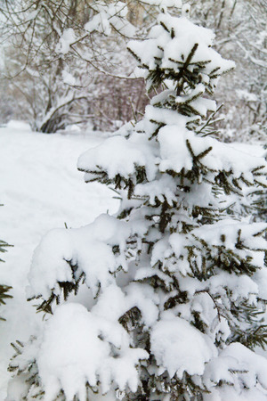 Green fir-trees in new-fallen snow in the early spring photo