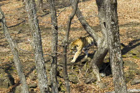 chased: The Amur tiger on brightly lit lawn in the light of the bright spring sun