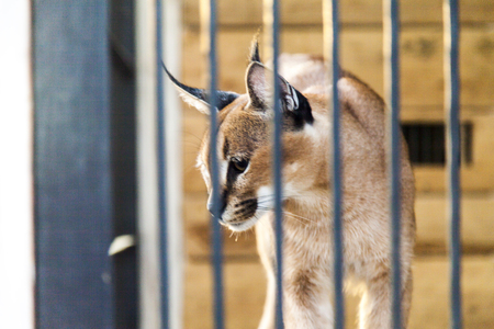 careless: The wild cat in a cage waits for the careless victim