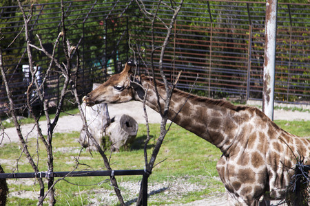 rejoices: The giraffe in a zoo rejoices to new visitors