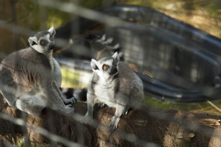 round eyes: Lemurs in a cage look at people round eyes Stock Photo