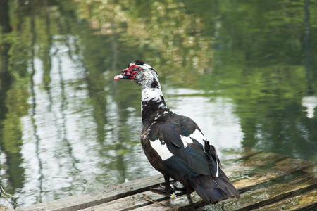 where to eat: The duck on a pond looks out where to eat