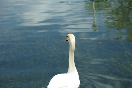 rejoice: Swans in a pond float in search of food and rejoice to heat