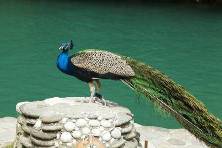 admire: Peacocks important sit on stones and allow to admire the beauty