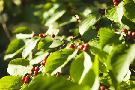 miserly: Autumn berries ripen in the autumn sun rays miserly