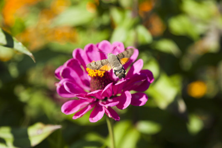 hyles gallii: Hyles on a flower collecting nectar, often waving wings
