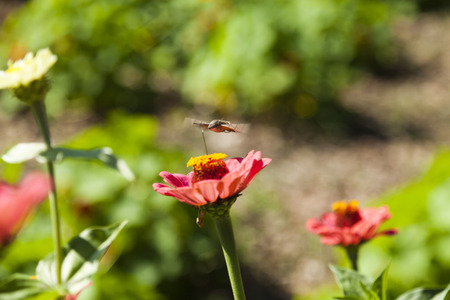 gallii: Hyles on a flower collecting nectar, often waving wings