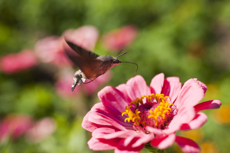 hyles: Hyles on a flower collecting nectar, often waving wings