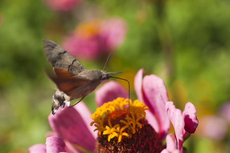 Hyles on a flower collecting nectar, often waving wings