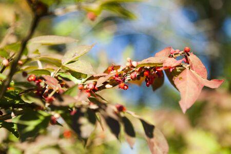 sorbus: Autumn berries radut eye in recent days are warm Stock Photo