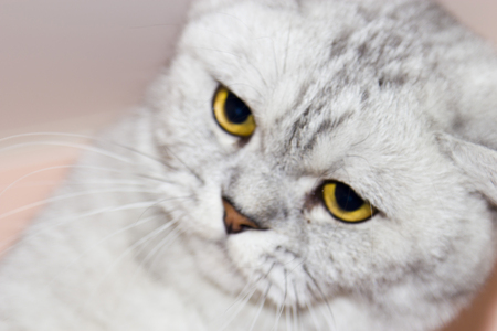 looking directly at camera: Big gray cat looking directly at the camera Stock Photo