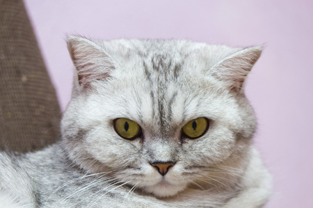 scottish female: The big gray cat looks before himself very thoughtfully Stock Photo