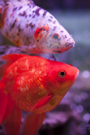 symphysodon discus: Fish in an aquarium floats in search of food Stock Photo