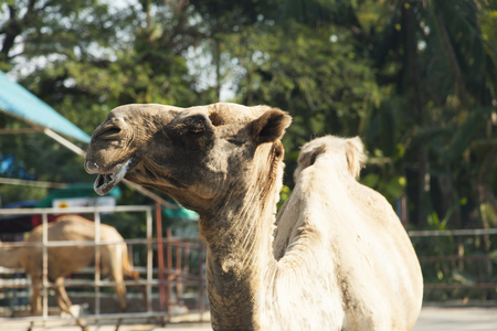wants: The camel in a zoo looks down on people and wants to spit