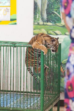 tigresa: El cachorro de tigre en una jaula, sino que trata de salir de all� Foto de archivo