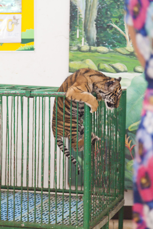 tigress: The tiger cub in a cage, but tries to get out from there Stock Photo