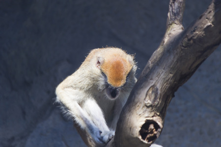 poner atencion: Los monos en un zoológico van sobre el propio negocio y no prestan atención a las personas