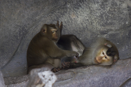 poner atencion: Monkeys in a zoo go about the own business and dont pay attention to people